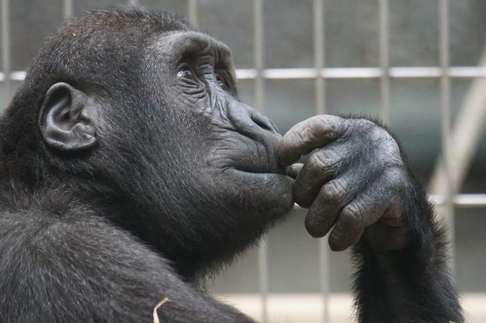 https://pixabay.com/en/primate-ape-thinking-mimic-view-1019101/