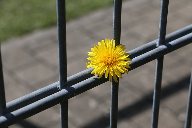 https://pixabay.com/en/fence-dandelion-completed-included-722437/